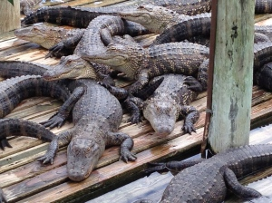 Alligator luggage moves quicker than these captive animals.