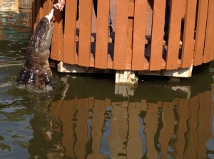 A single hungry alligator giving a lackluster performance at the final gator show of the day.