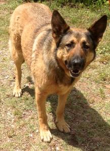 Beauty, the German Shepherd
