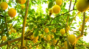 A tree full of lemons after feeding, watering and attracting bees for pollination.