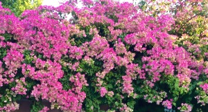 The bougainvillea in California, nine years after planting.