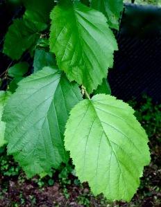 Leaves on the California Hazelnut (corylus cornuta var. californica)