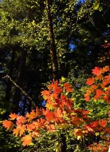 The vine maples with their reddish-orange hue.